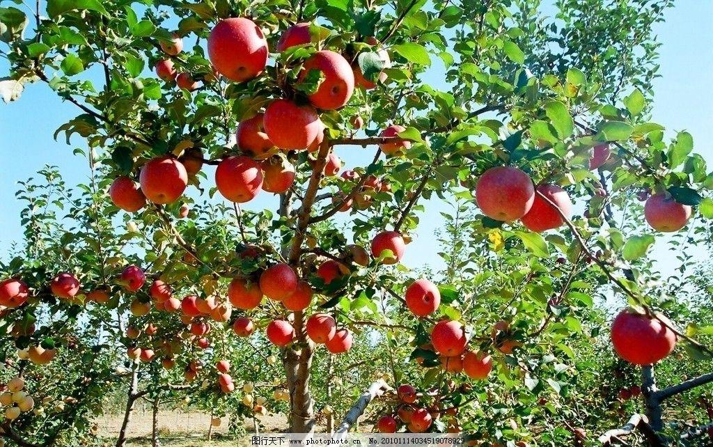 苹果 苹果树 红苹果 红富士 延长苹果 水果 田园风光 自然景观 摄影 7