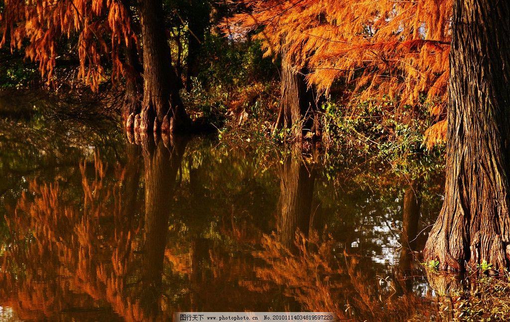 水杉 武汉 东湖 风景 树木 湖水 水中倒影 秋季 自然风景 自然景观