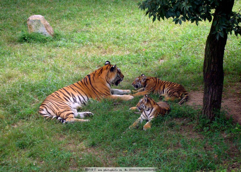 老虎 草地 动物园图片