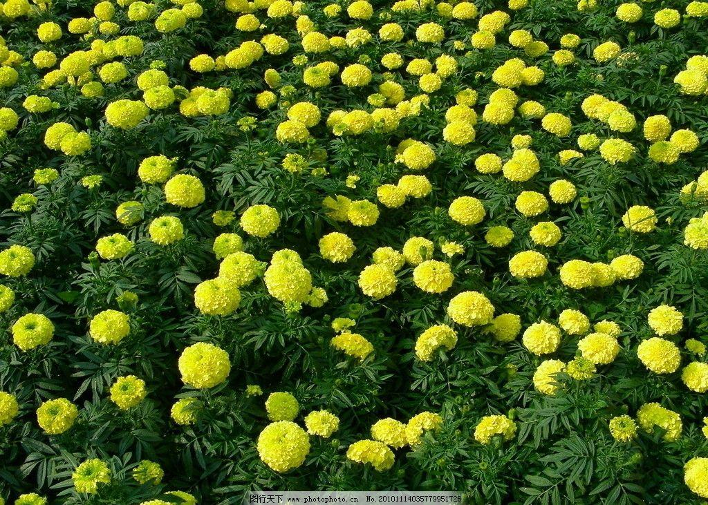 鲜花 菊花 高清图片 植物 花卉 园林 花草树木