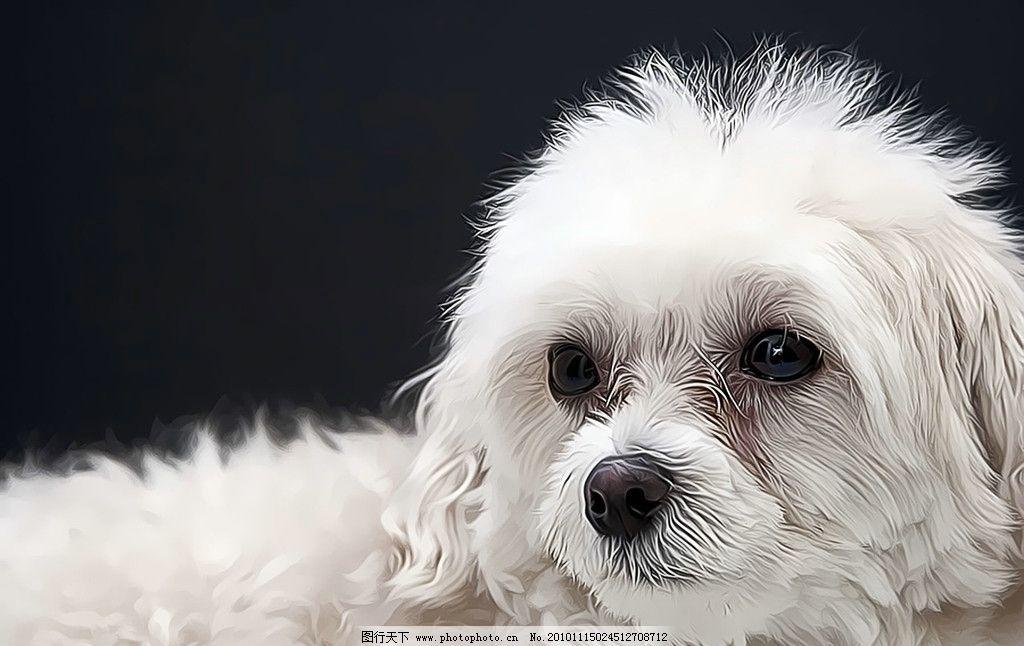 小狗 西洋狗 京巴狗 玩具 洁白 纯洁 眼睛 可爱 宠物 壁纸 家禽家畜