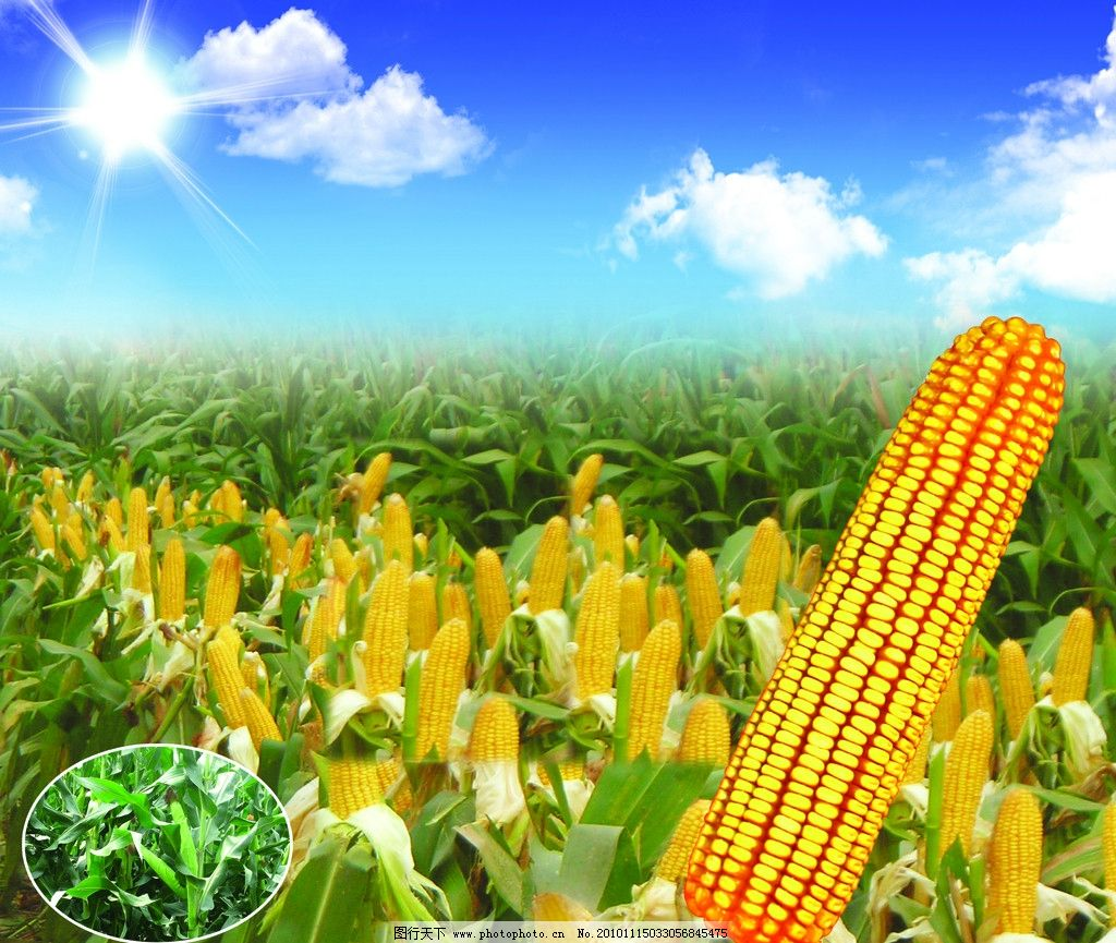 玉米地 玉米地摄影 阳光 蓝天 草地 白云 田园美景 丰收美景
