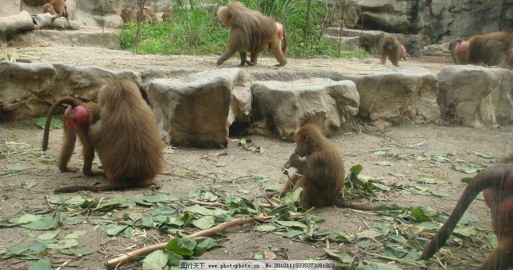 红屁猴 猴子 山石 树叶 树林 树木 风景 摄影 动物