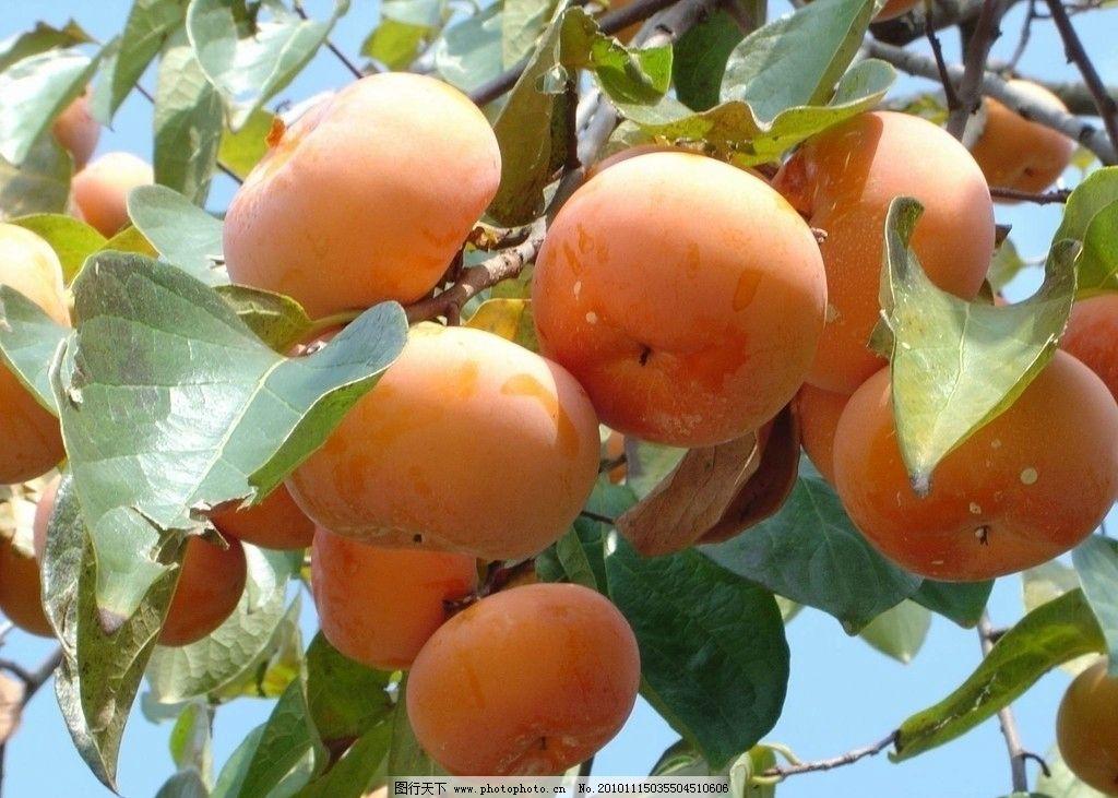 柿子 设计 素材 柿子树 树叶 果实 水果 果树 摄影图库 生物世界 高清