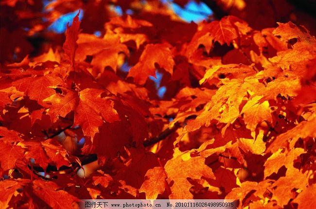 森林树木-013 枫叶 红色映像 图片素材 风景生活旅游餐饮
