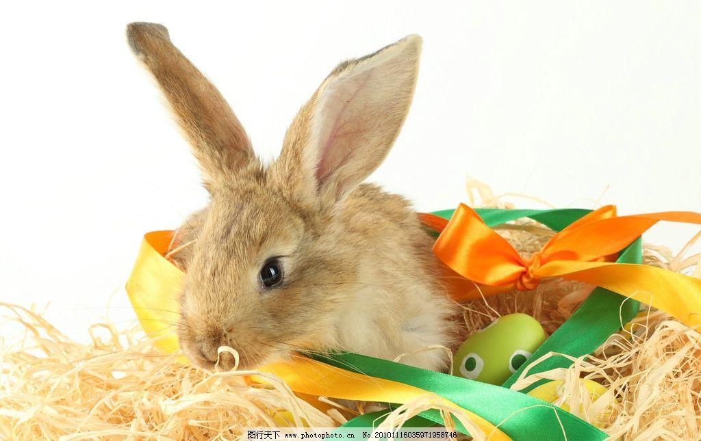 兔年生肖素材 家禽家畜 动物 兔子图片 生物 生物世界 野生动物 动物