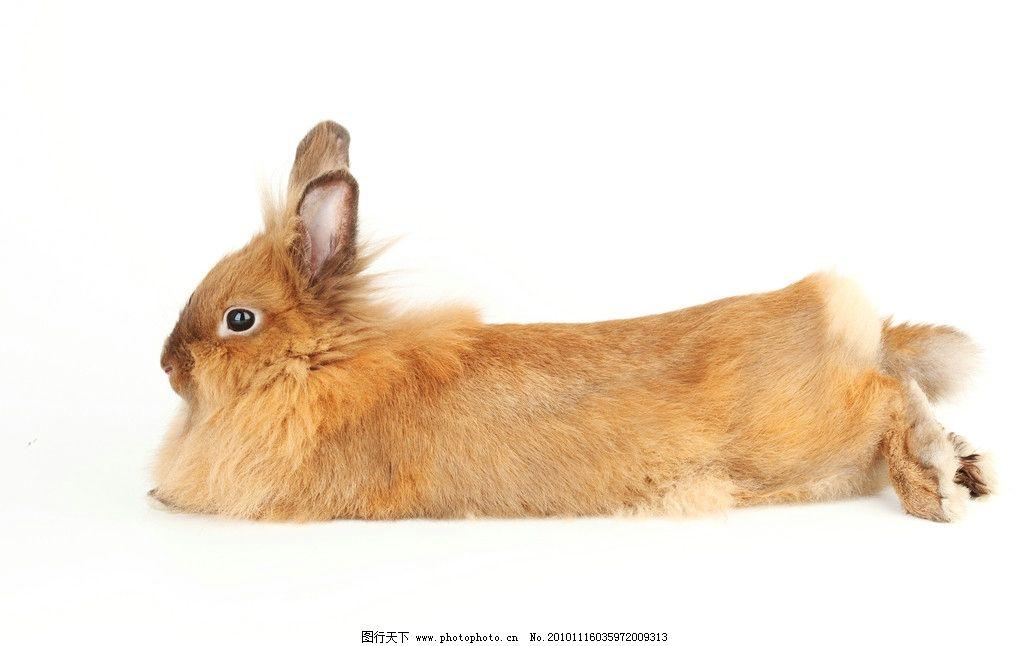 兔子 小兔子 兔年素材 兔兔 可爱 宠物 可爱的兔子 兔年生肖素材