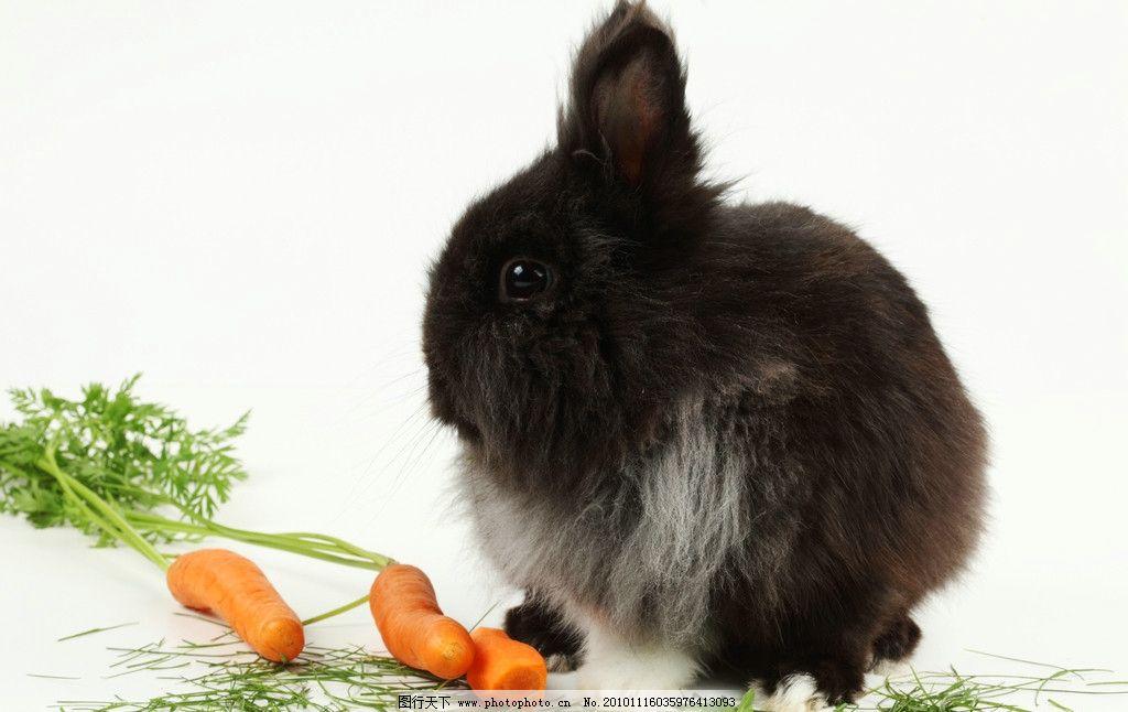 兔子 小兔子 兔年素材 兔兔 小黑兔 胡萝卜 可爱的兔子 可爱 宠物 兔