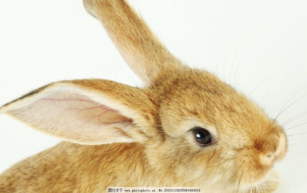 可爱的兔子图片