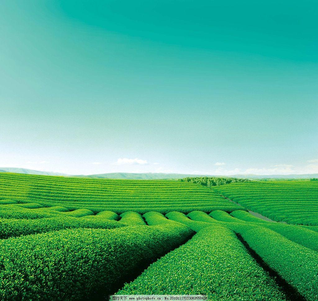 茶园海报背景 茶园 绿色 茶山 茶叶 风景 设计 海报背景 psd分层素材