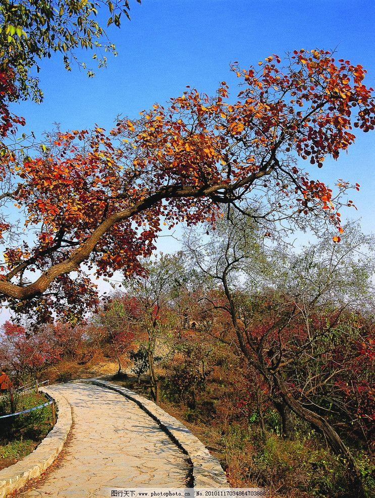 秋天的枫叶 枫叶 枫树 红枫叶 本溪 洋湖沟 树木树叶 自然风光 自然