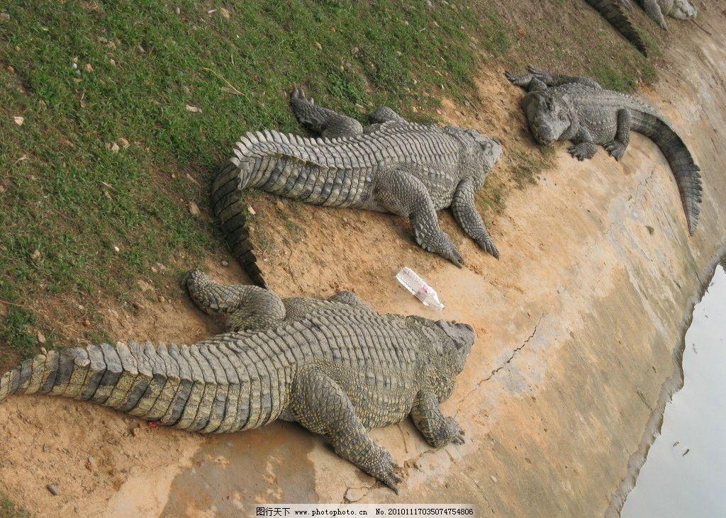 鳄鱼 南宁动物园 野生动物 爬行动物 晒太阳 两栖动物 公园 水池