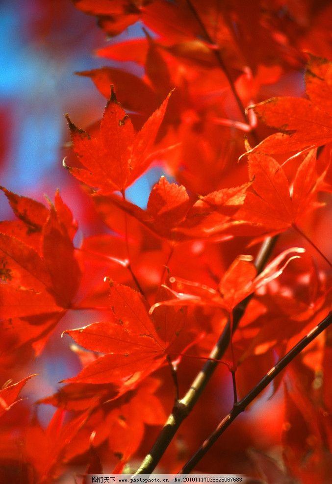 秋天的景色 秋季枫叶背景 枫叶 枫树 红枫叶 秋天的枫叶 秋天 秋季