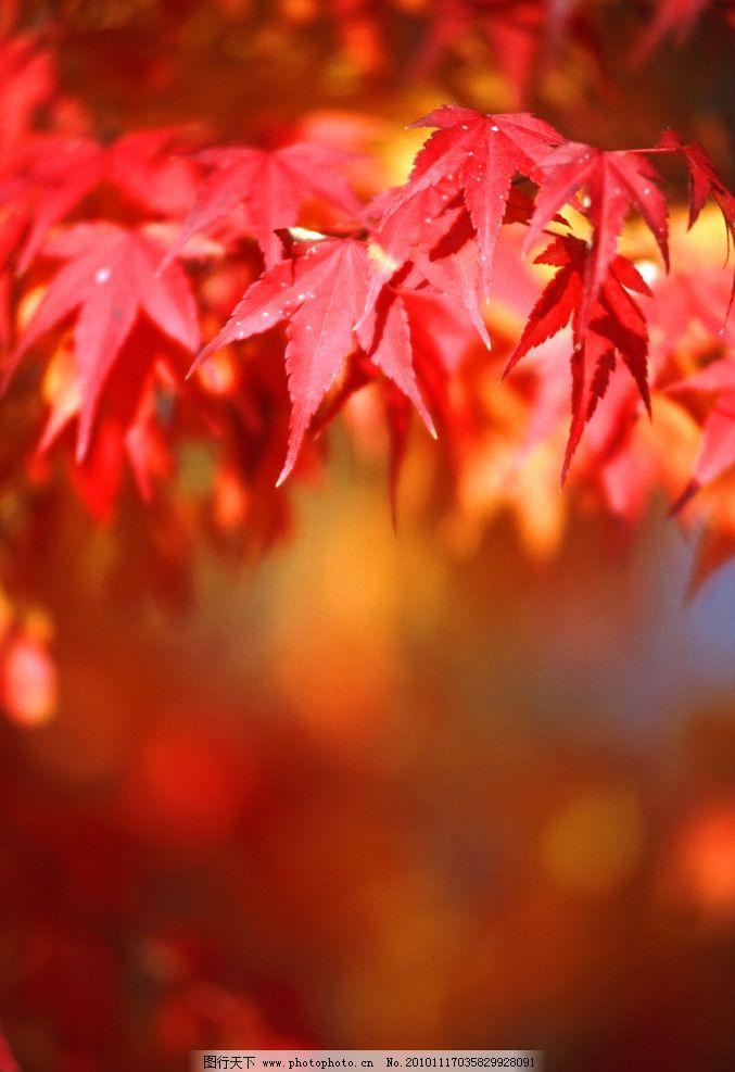 秋天的景色 秋季枫叶背景 枫树 红枫叶 秋天的枫叶 自然风光 自然风景