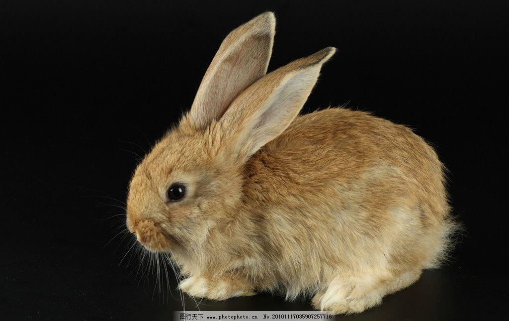 兔子 小兔子 兔年素材 兔兔 小灰兔 可爱的兔子 宠物 兔年生肖素材
