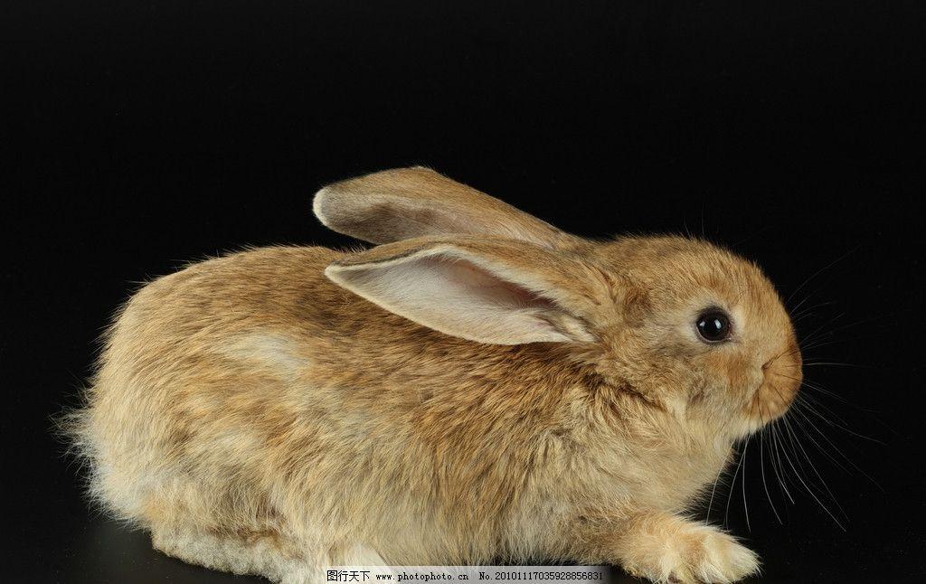 兔子 小兔子 兔年素材 兔兔 小灰兔 可爱的兔子 可爱 宠物 兔年生肖