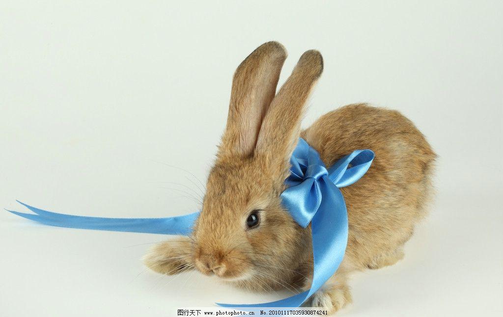 兔子高清图片 兔子 家兔 小兔子 丝带 蝴蝶结 节日 喜庆 圣诞 新年 可爱 宠物 野兔 生物世界 野生动物 家禽家畜 摄影 300DPI JPG 高清动物