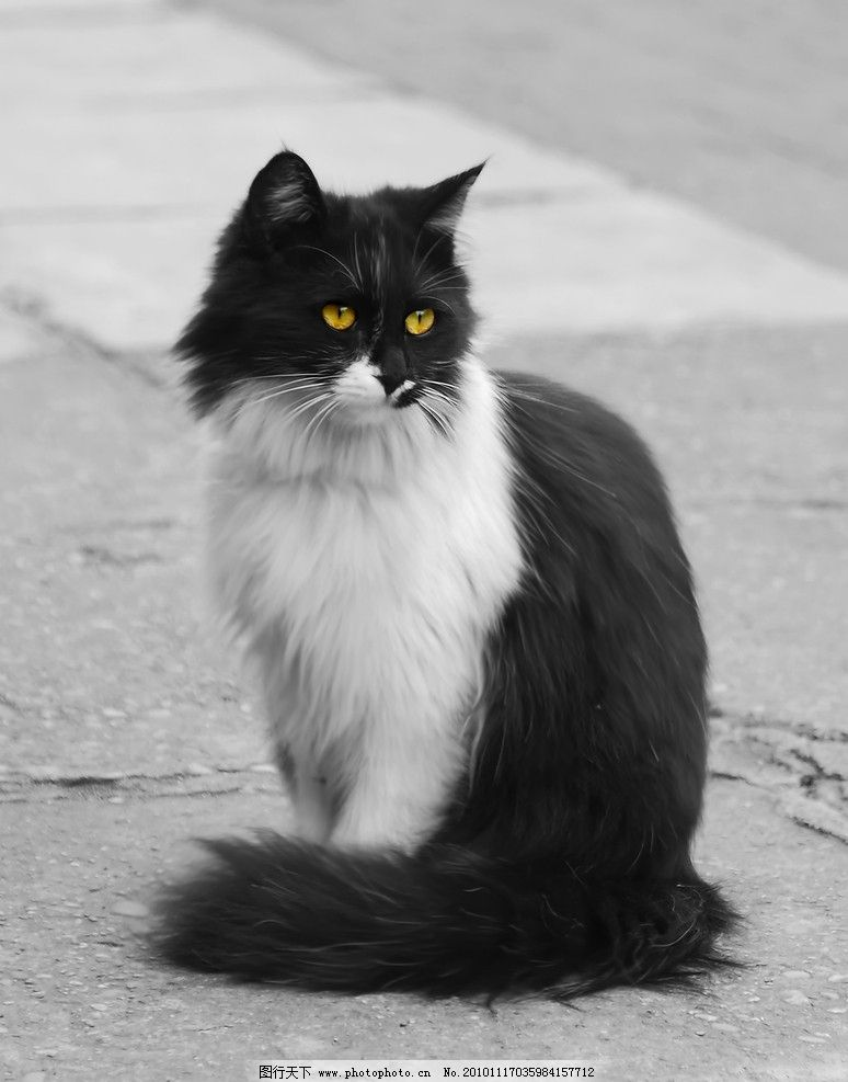 黑白花猫 黑猫 白猫 小猫 家猫 猫咪 摄影