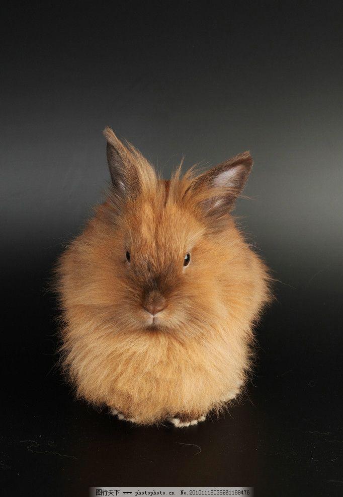 兔子 兔年素材 小兔子 兔年生肖素材 兔兔 可爱的兔子 长毛兔