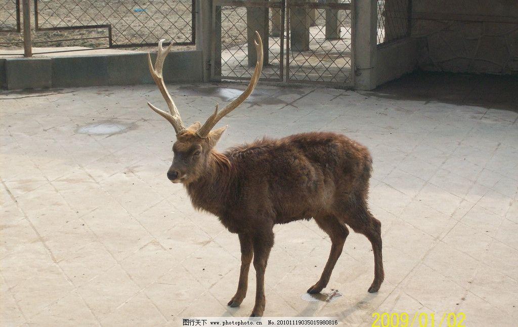 麋鹿 四不象 动物 野生动物 生物世界 摄影