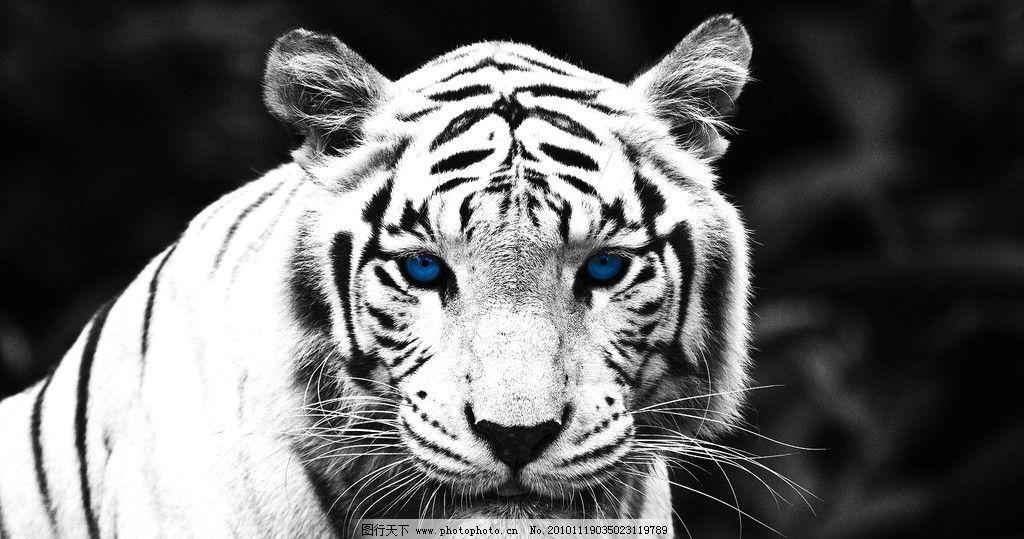 设计图库 生物世界 野生动物  老虎 底纹 黑白 猛兽 眼睛 宝石 斑纹