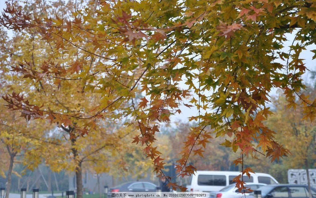 秋天的金色五角枫 秋景 秋叶 红叶 风景 彩叶 树木 摄影
