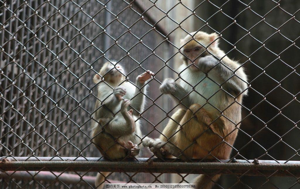 猴子 铁笼里的猴子 动物 可爱 动物园 野生动物 生物世界 摄影 72dpi