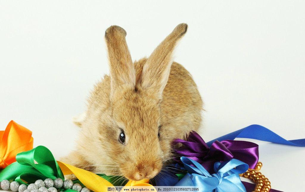 兔子 小兔子 兔年素材 兔兔 可爱 宠物 可爱的兔子 兔年生肖素材 家禽