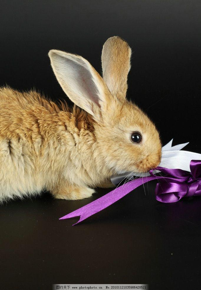 兔子 可爱的兔子 小兔子 兔年素材 兔兔 丝带 彩带 兔子窝 可爱 宠物