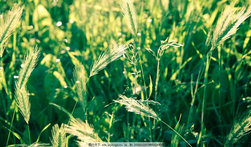 小麦 麦田 大田作物 麦穗 麦须 绿色 田 植物 田园风光 自然景观 摄影