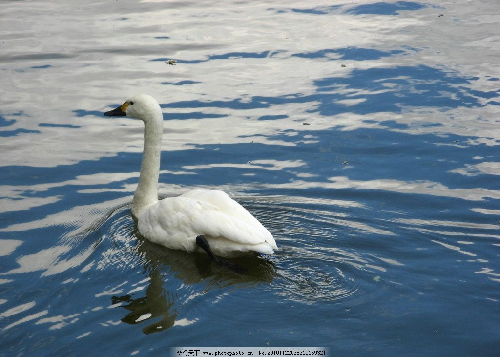 白天鹅 湖水 天鹅 倒影 鸟类 生物世界 摄影 180dpi jpg