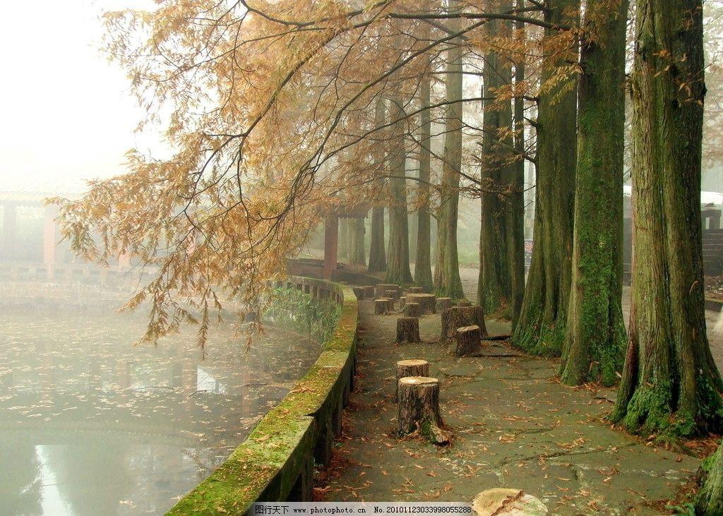 湖边水杉 水杉 湖边 薄舞轻纱 水杉林 清晨树林 古树 森林公园 风景