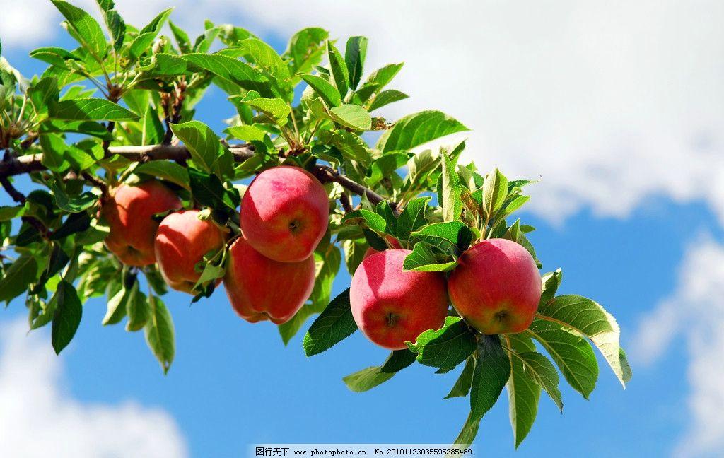红苹果蓝天空 树枝 绿色 苹果 苹果树 蓝天 白云 绿叶子 水果 生物