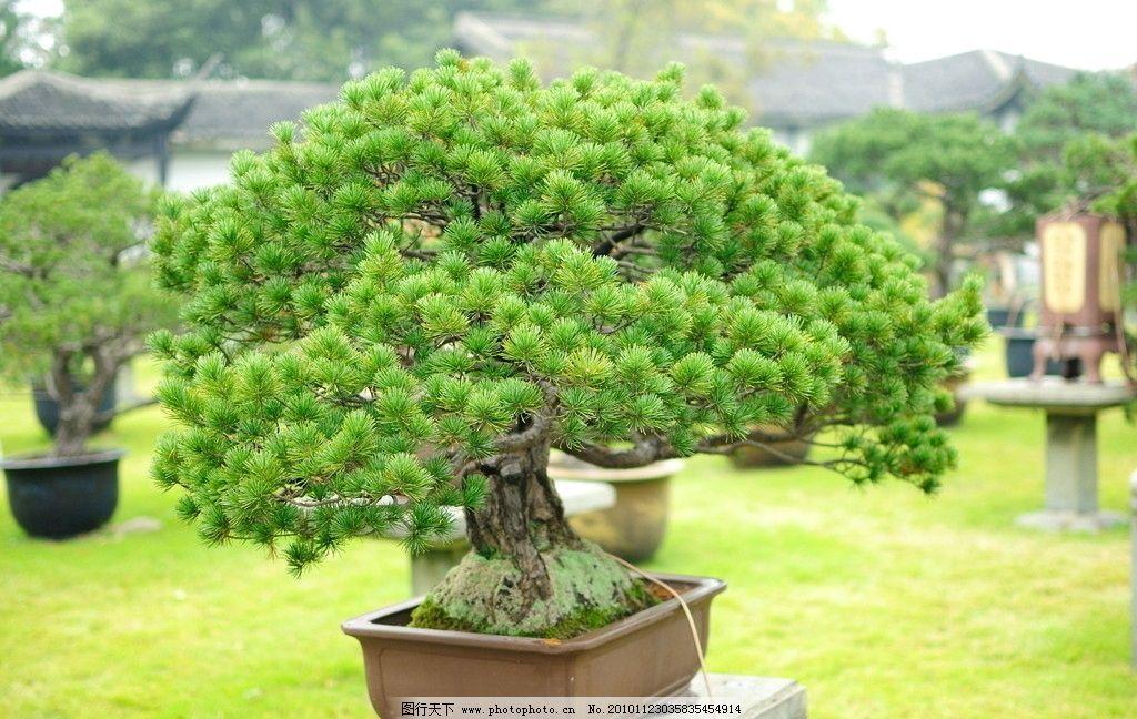 盆景 小树 园林 景观 家饰 生态 生活 绿色 健康 树木树叶 生物世界