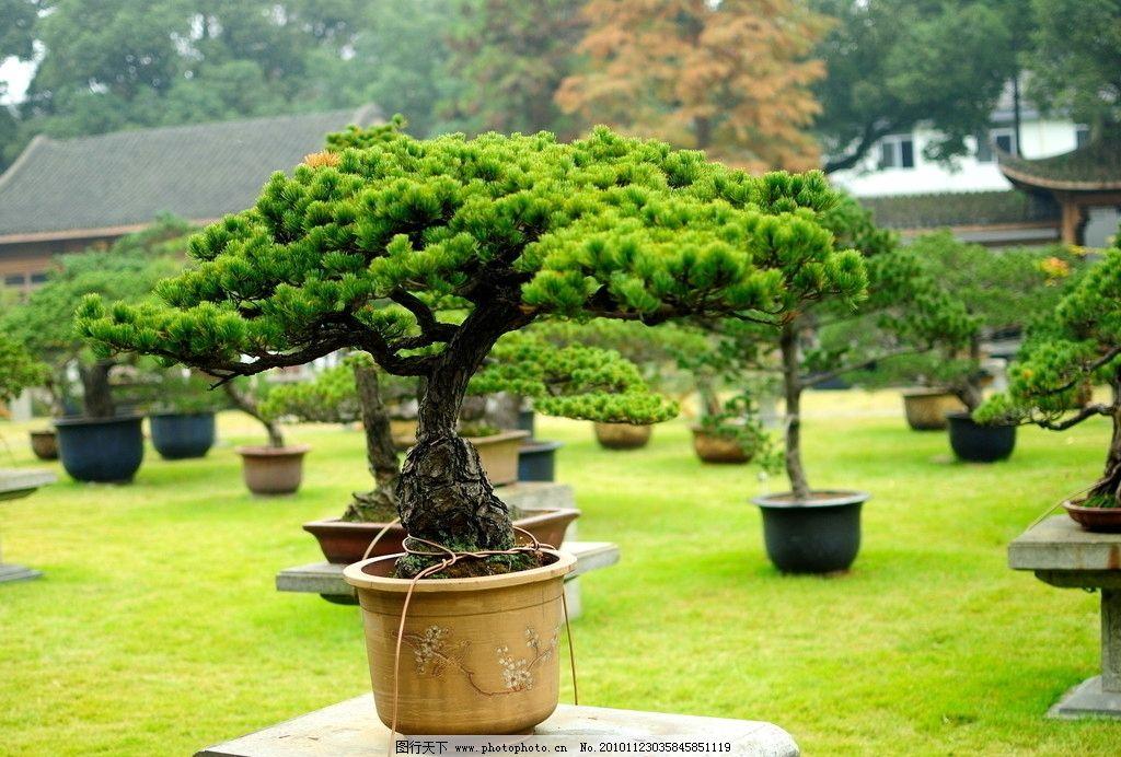 盆景图片_树木树叶_生物世界