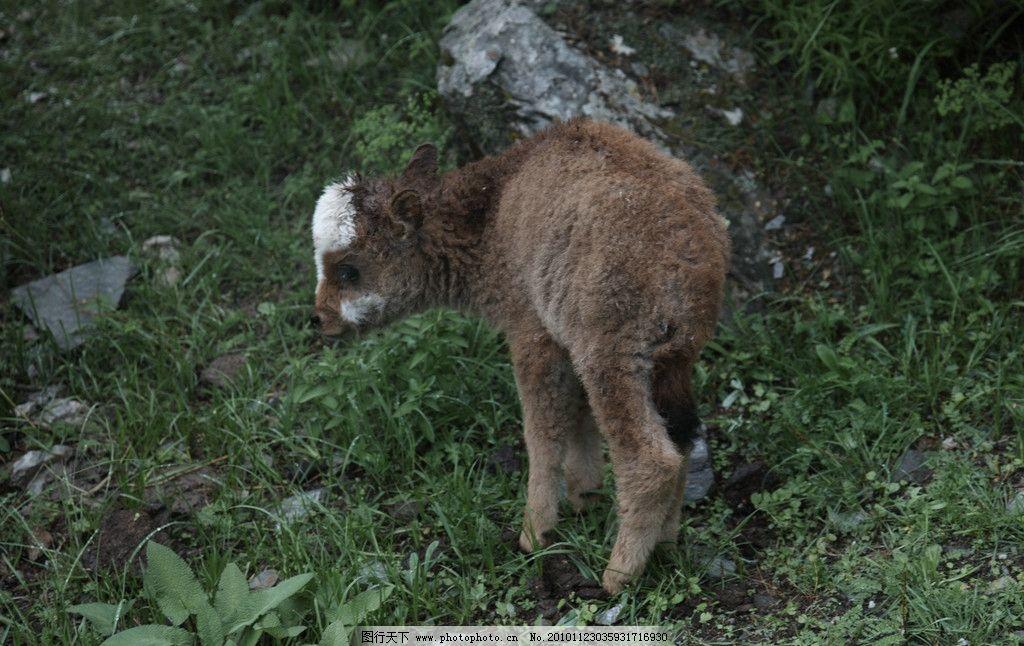 可爱的小鹿 高原 牦牛 小鹿 幼年 西藏 动物 家畜 黄色 白色 草原