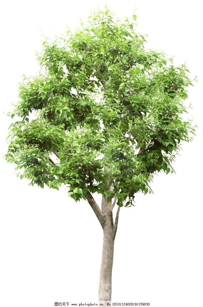 单个树素材 植物 素材