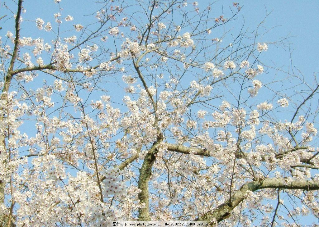 春樱 樱花 春天 风景 京都 日本 旅游 自然风景 自然景观 摄影