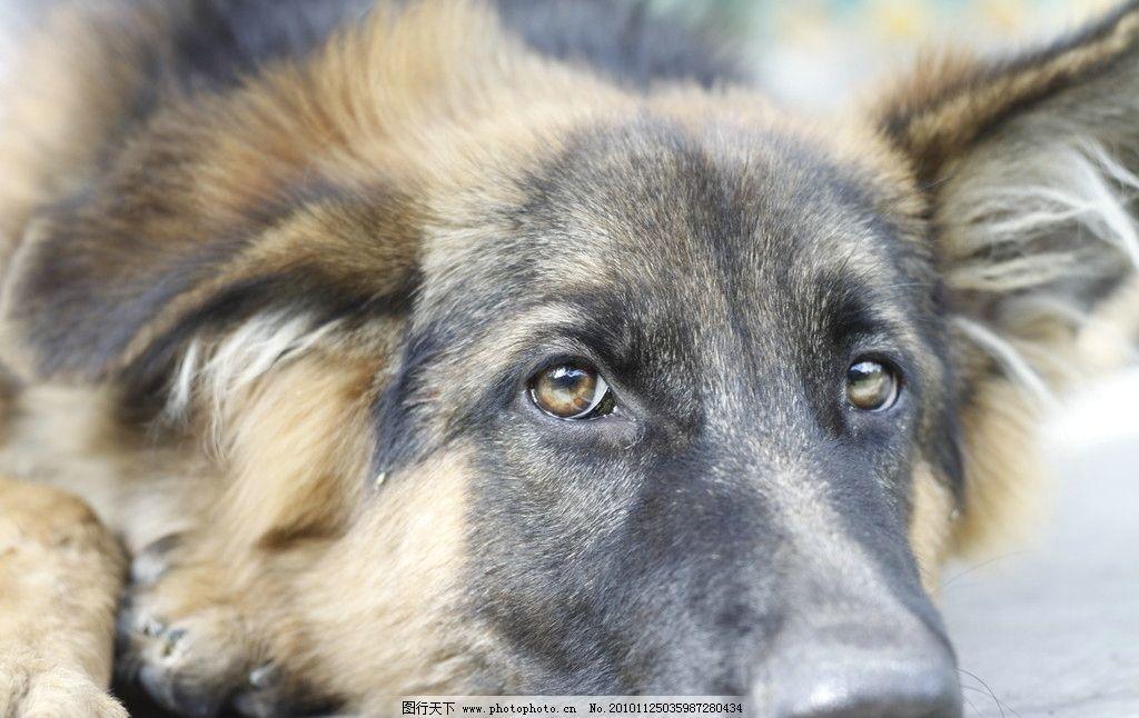 忧郁的狗狗 忧郁 黑背 狗狗 看门狗 狗 摄影作品 家禽家畜 生物世界