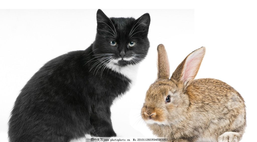 猫与兔子图片