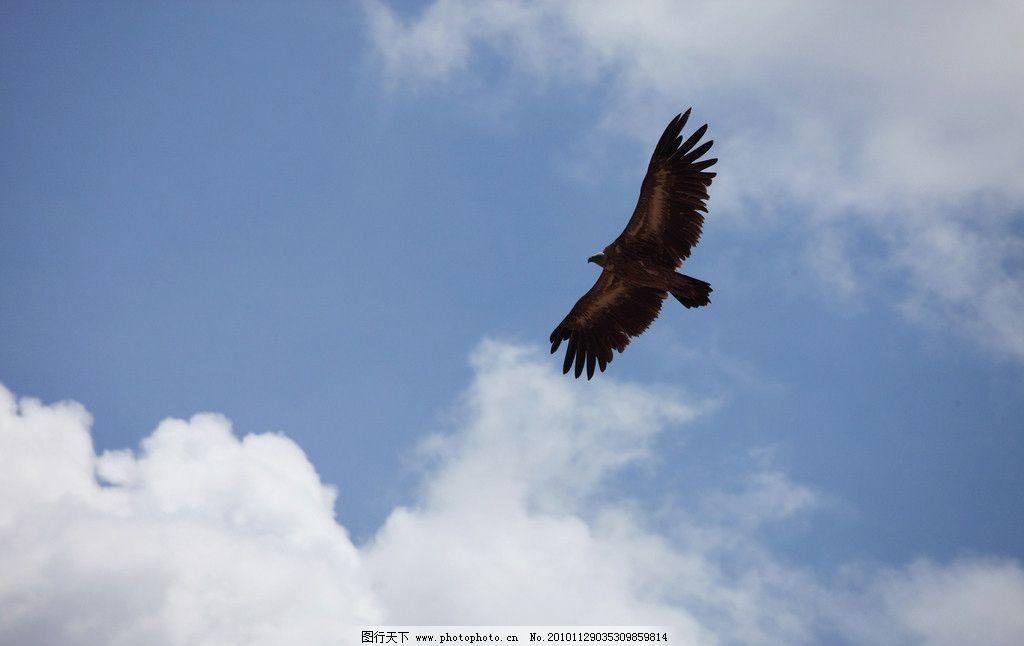 飞鹰图片,高空 飞翔 天空 动物 野生 自由 放飞-图行