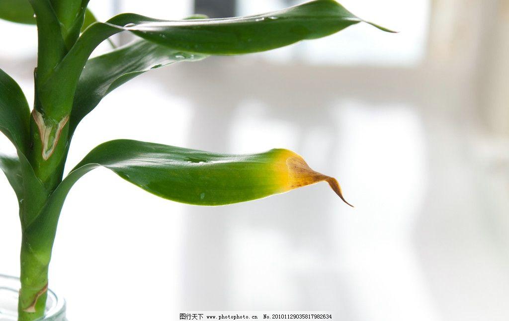 树叶 绿叶 叶子 枯黄 花草 植物 生长 绿色 富贵竹 摄影