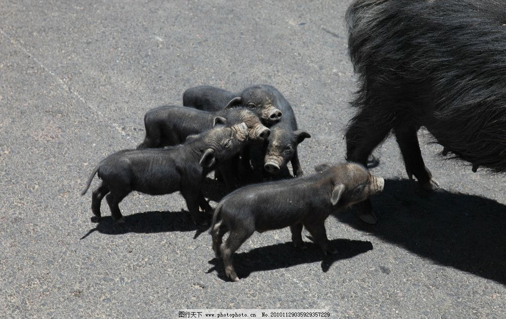 一窝小黑猪图片