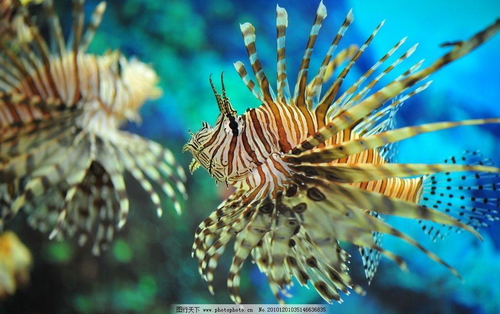 狮子鱼 海底世界 摄影