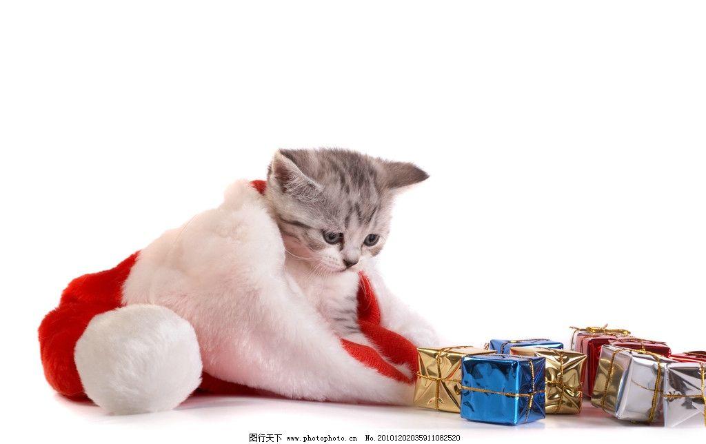 圣诞节 圣诞礼物 礼物 礼品 礼盒 猫咪 懒猫 圣诞图片 圣诞素材 宠物