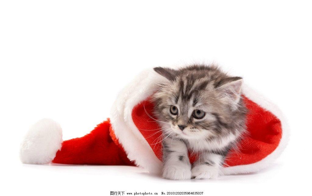圣诞猫 可爱的小猫 圣诞帽 圣诞节 猫咪 懒猫 圣诞图片 圣诞素材
