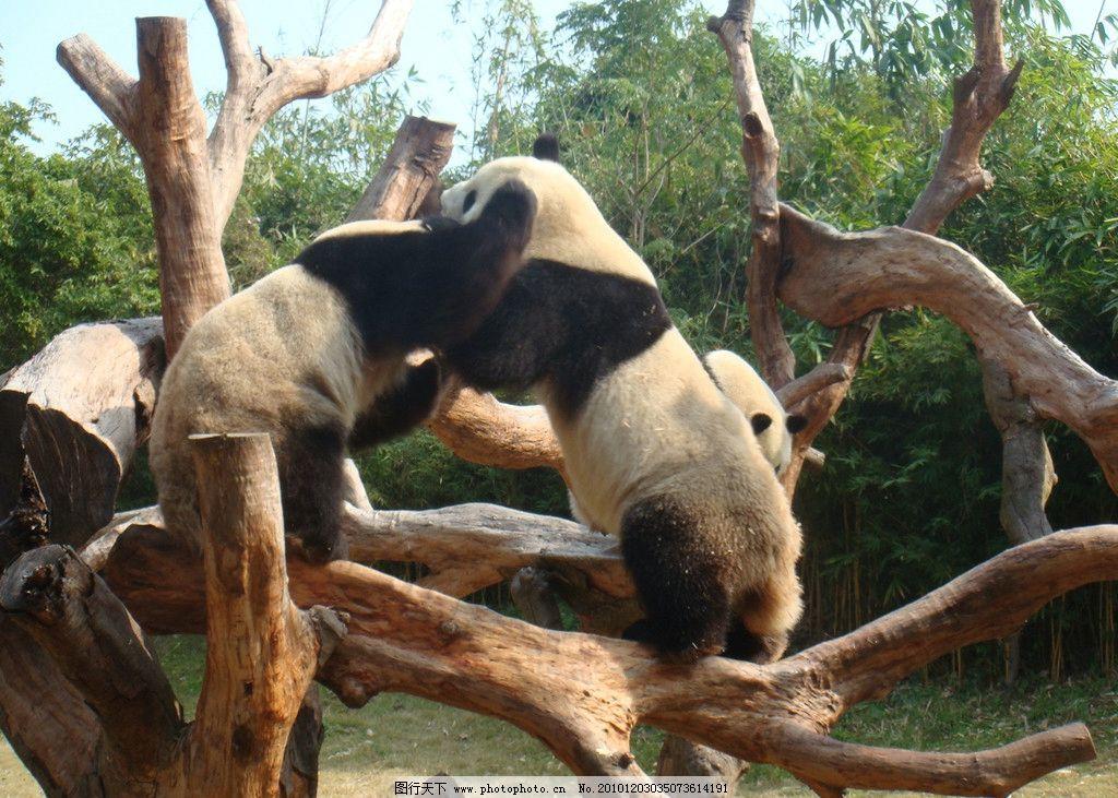 大熊猫 野生动物 生物世界 摄影