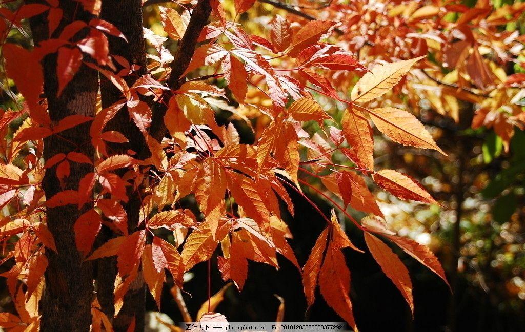 红叶 吊水壶红叶 秋天红叶 树木树叶 生物世界 摄影 300dpi jpg