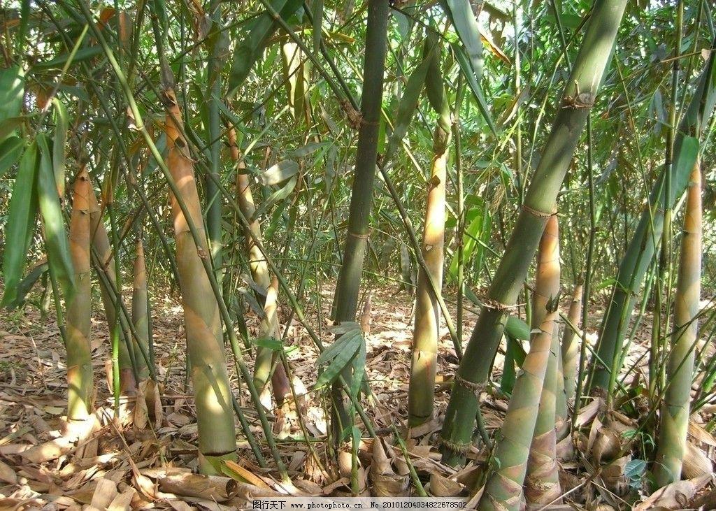 竹笋 竹子 山 竹林 风景 绿色 竹叶 摄影