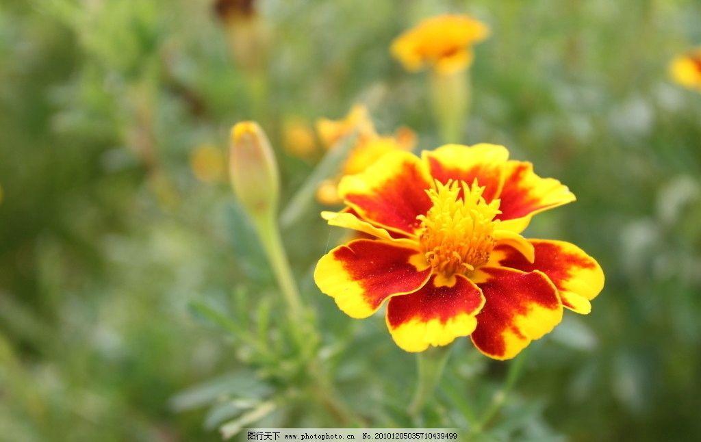 孔雀草 花 小花 红花 花卉 美丽的花 花儿 绿 花草 生物世界 摄影 72